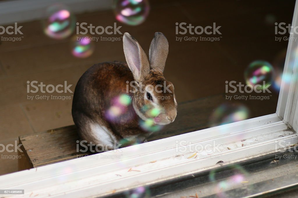 Rex rabbit and soap bubble photo libre de droits