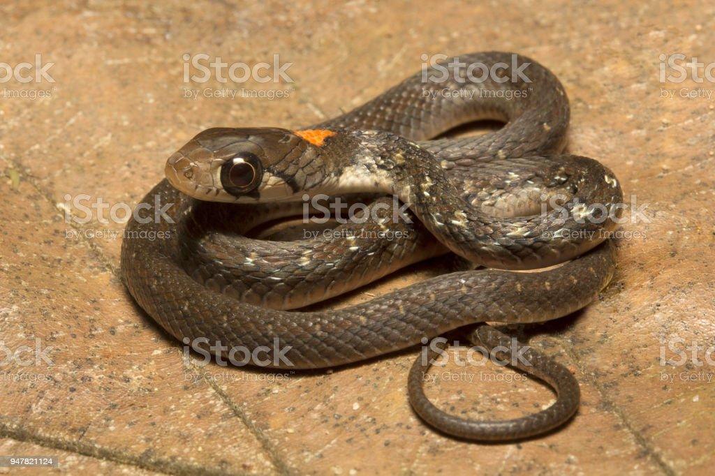 Rhabdophis himalayanus, Rhabdophis himalayanus, Colubridae, Trishna, Tripura , India - Royalty-free Animal Stock Photo