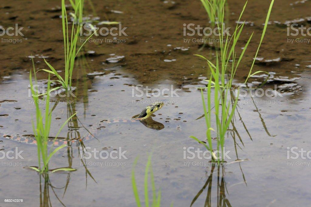 游蛇頸槽蛇 免版稅 stock photo