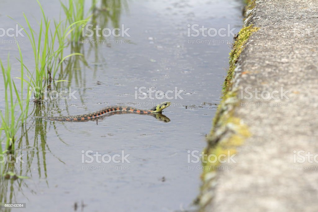 Rhabdophis tigrinus royalty-free stock photo