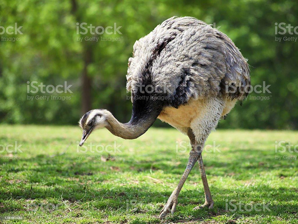 Rhea Bird royalty-free stock photo