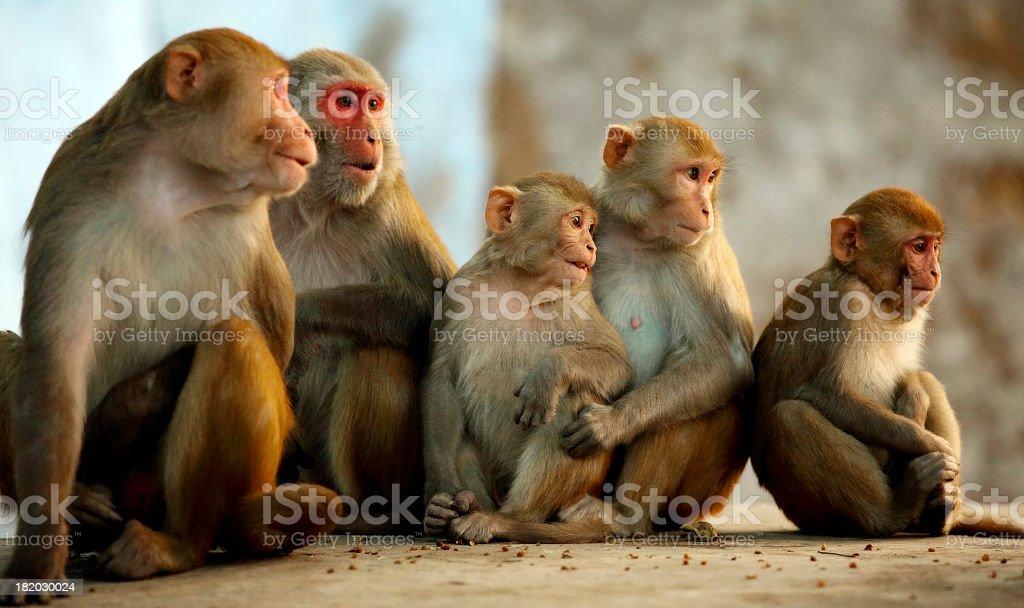 Rhesus family stock photo