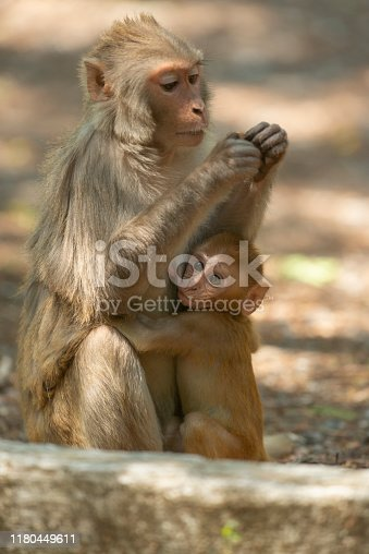 Rhesus Macaque baby feeding on mother at Sattal.Uttarakhand.India