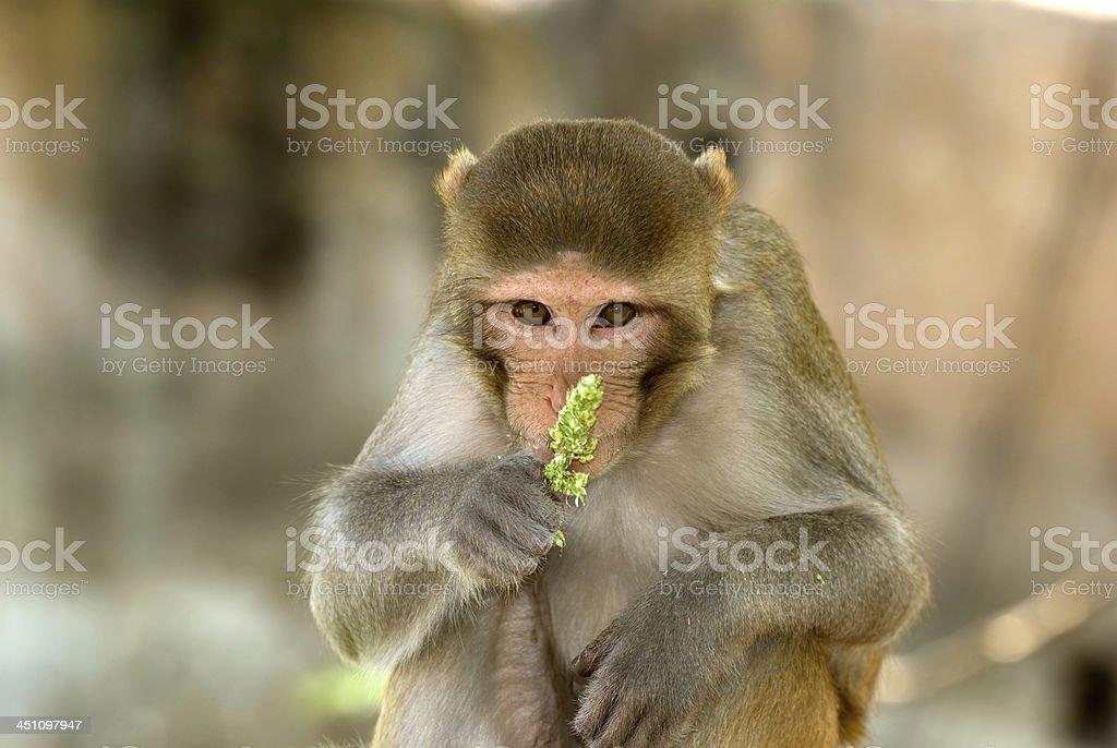 Rhesus macaque, Deeg, Rajasthan, India stock photo