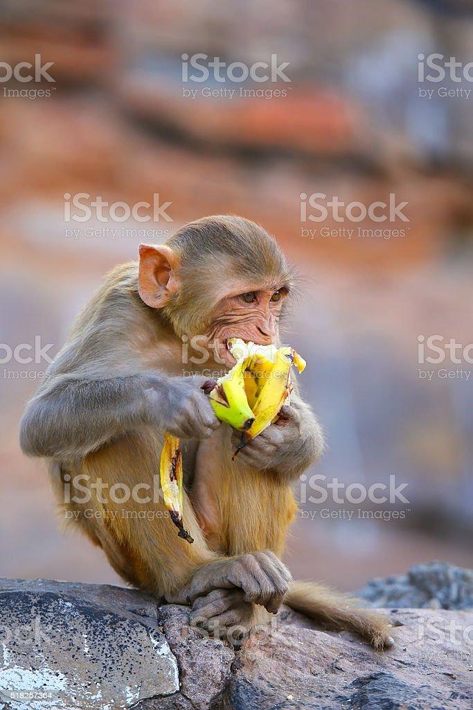 Rhesus macaque eating banana in Galta Temple in Jaipur, Rajastha stock photo