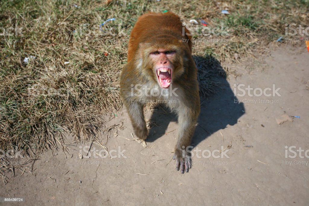 Rhesus Macaque, Fangs, Kathmandu, Nepal stock photo