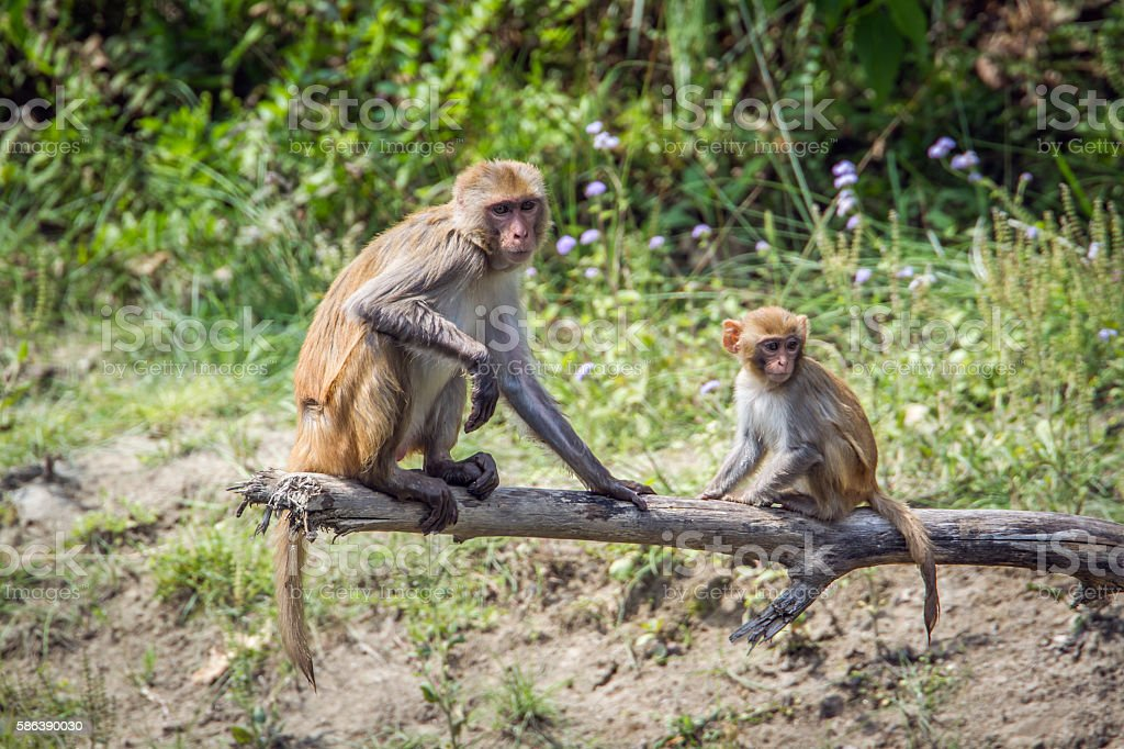 Rhesus Macaque in Bardia national park, Nepal stock photo