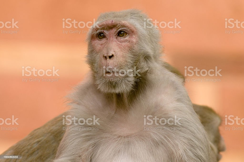 Rhesus Macaque in India royalty-free stock photo