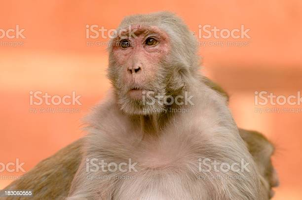 Rhesus Macaque In India Stock Photo - Download Image Now
