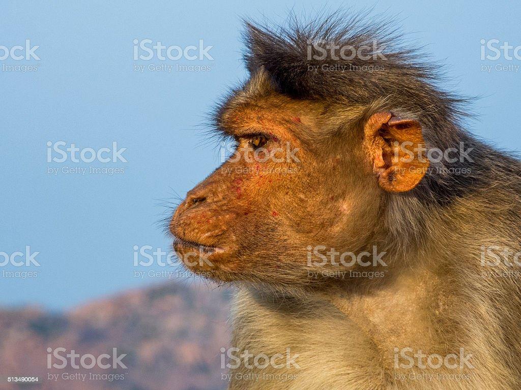 Rhesus Macaque In Profile stock photo