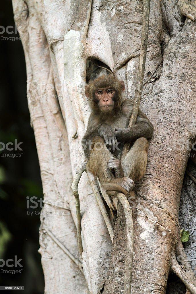 Rhesus macaque in strangler fig tree, Corbett National Park, India stock photo
