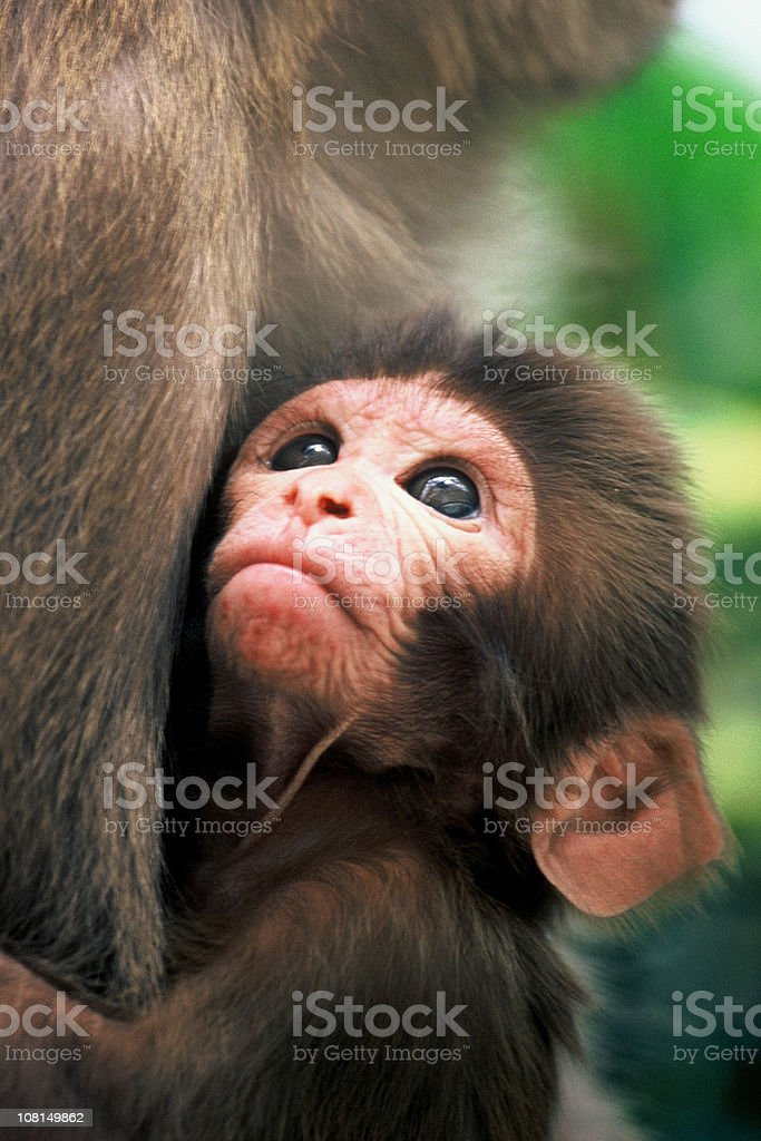 Rhesus Macaque Infant Gazing in mothers arms royalty-free stock photo