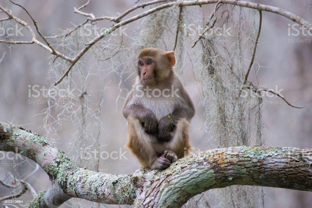 Rhesus Macaque Monkey in Silver Springs, Florida stock photo