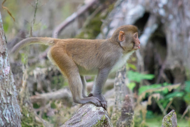 Rhesus Macaque Monkey in Silver Springs, Florida A young monkey makes a face along the Silver River in Ocala, Florida. monkey stock pictures, royalty-free photos & images