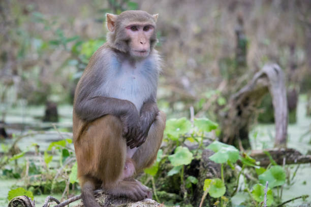Rhesus Macaque Monkey in Silver Springs, Florida A monkey sits on the edge of the swamp along the Silver River in Ocala, Florida. monkey stock pictures, royalty-free photos & images