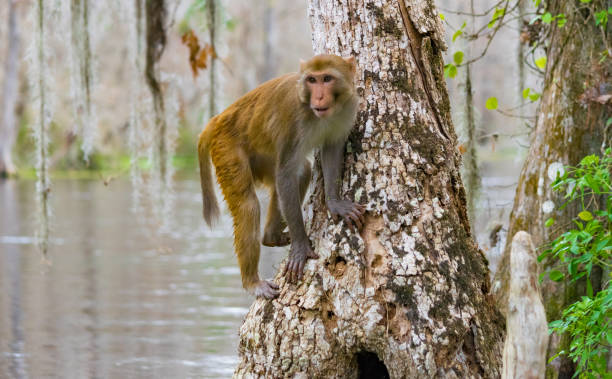 Rhesus Macaque Monkey in Silver Springs, Florida A troop of escaped wild monkeys inhabit the swamp along the Silver River in Ocala, Florida. monkey stock pictures, royalty-free photos & images