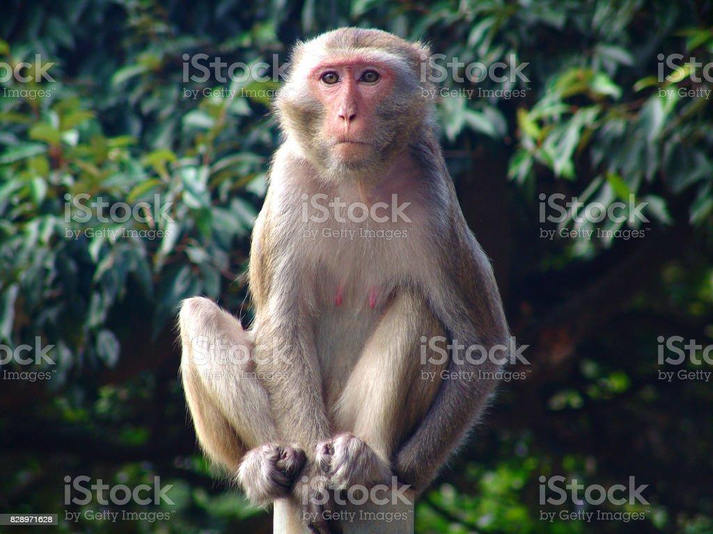 Rhesus Macaque (macaca mulatta) monkey stock photo