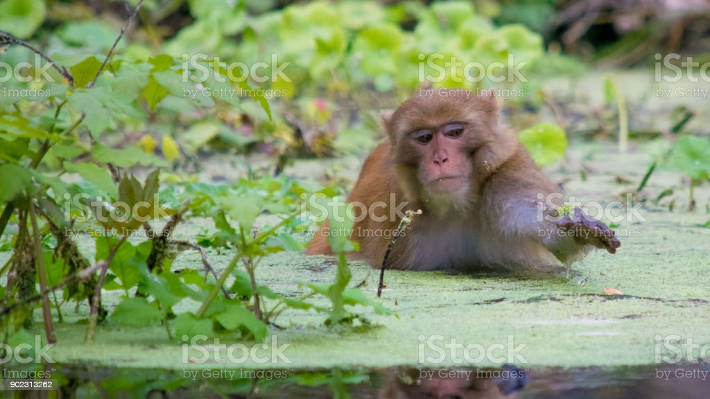Rhesus Macaque Monkey Wading in Silver Springs, Florida stock photo