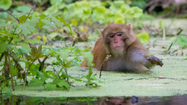 Rhesus Macaque Monkey Wading in Silver Springs, Florida A troop of escaped wild monkeys inhabit the swamp along the Silver River in Ocala, Florida. monkey stock pictures, royalty-free photos & images