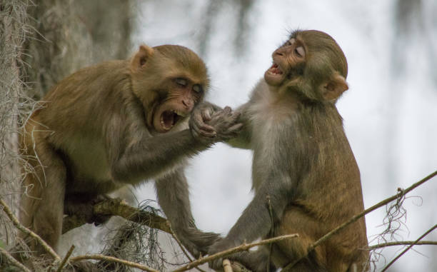Rhesus Macaque Monkeys at Play in Silver Springs, Florida A troop of escaped wild monkeys inhabit the swamp along the Silver River in Ocala, Florida. monkey stock pictures, royalty-free photos & images