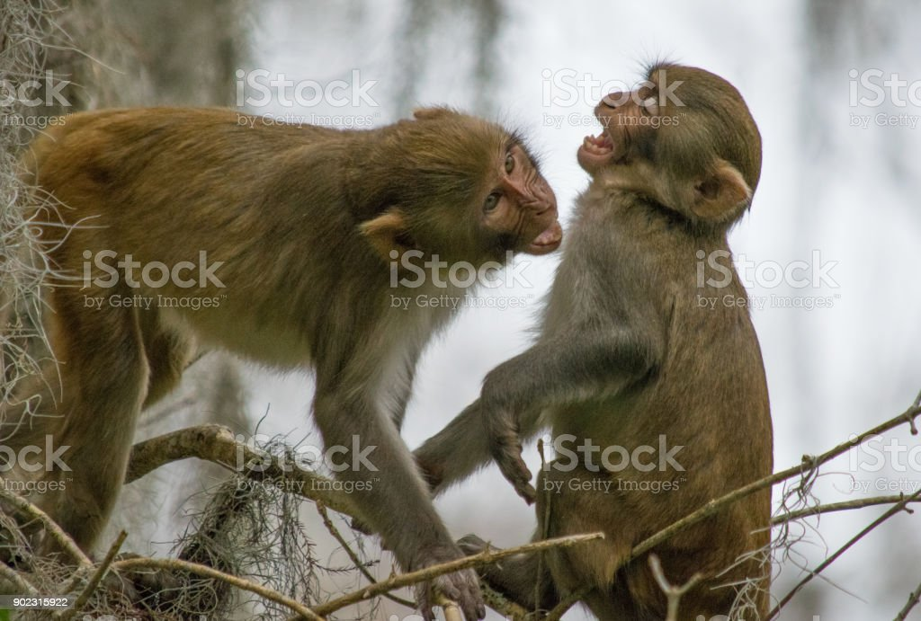 Rhesus Macaque Monkeys at Play in Silver Springs, Florida stock photo