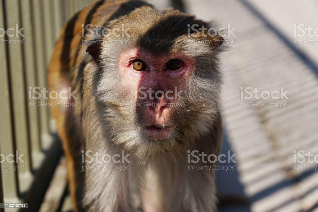 Rhesus Macaque (macaca mulatta) monkeys in Kam SHan Country Part, Hong Kong royalty-free stock photo