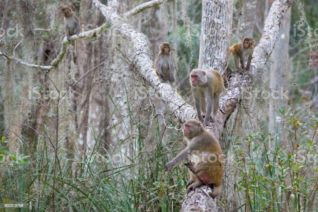Rhesus Macaque Monkeys in Silver Springs, Florida stock photo