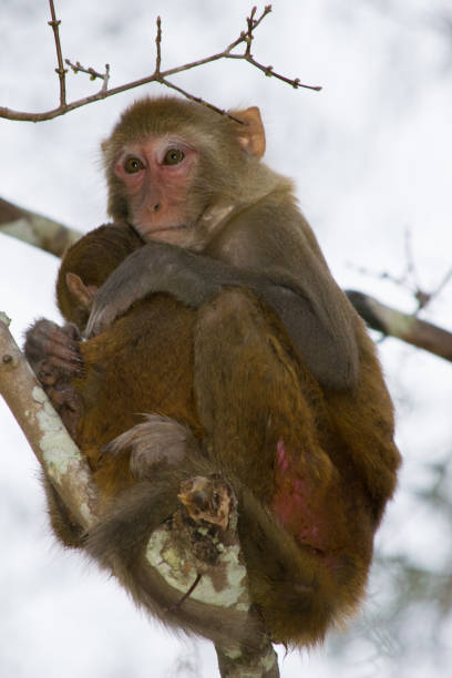 Rhesus Macaque Monkeys in Silver Springs, Florida A troop of escaped wild monkeys inhabit the swamp along the Silver River in Ocala, Florida. monkey stock pictures, royalty-free photos & images
