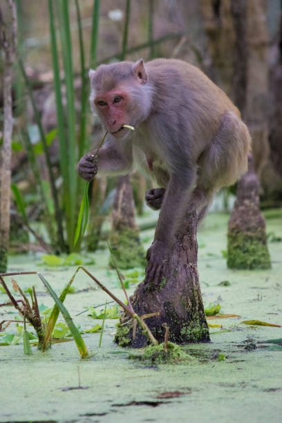 Rhesus Macaque Monkeys in Silver Springs, Florida A wild monkey feeds along the Silver River in Ocala, Florida. monkey stock pictures, royalty-free photos & images