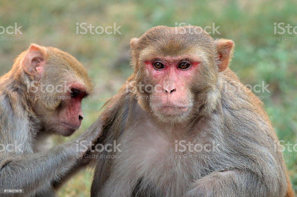 Rhesus macaque monkeys stock photo