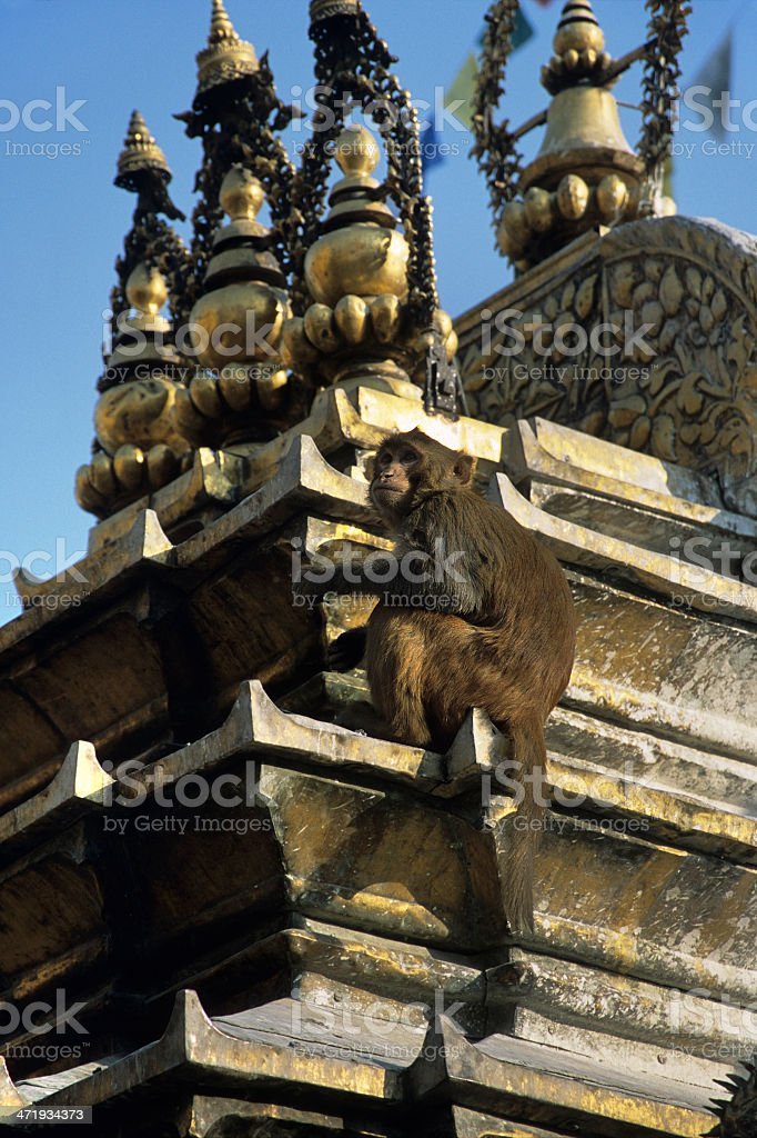 Rhesus macaque on Kathmandu's Monkey Temple royalty-free stock photo