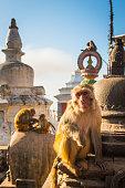 Rhesus Macaques monkeys on the ancient stupas of Swayambhunath temple high above Kathmandu, Nepal's vibrant capital city.
