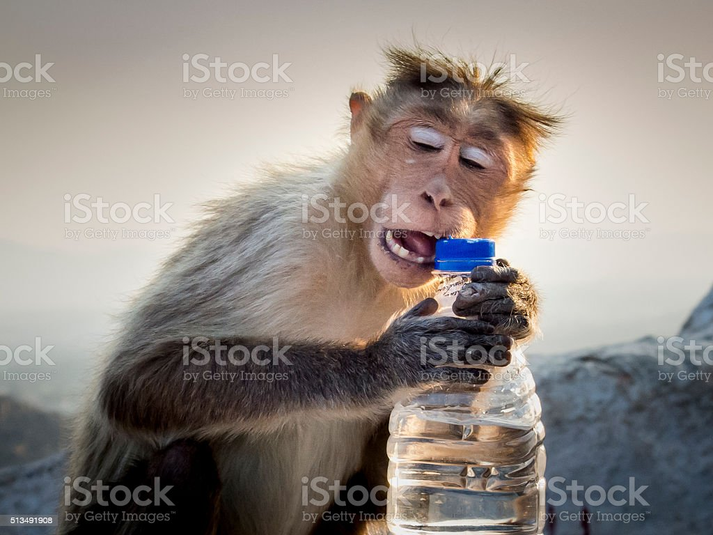 Rhesus Macaque Opening A Bottle With His Teeth stock photo