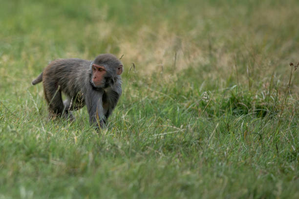 Rhesus Macaque stock photo