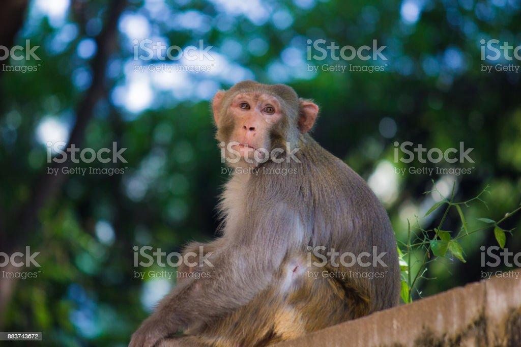 Rhesus macaque stock photo