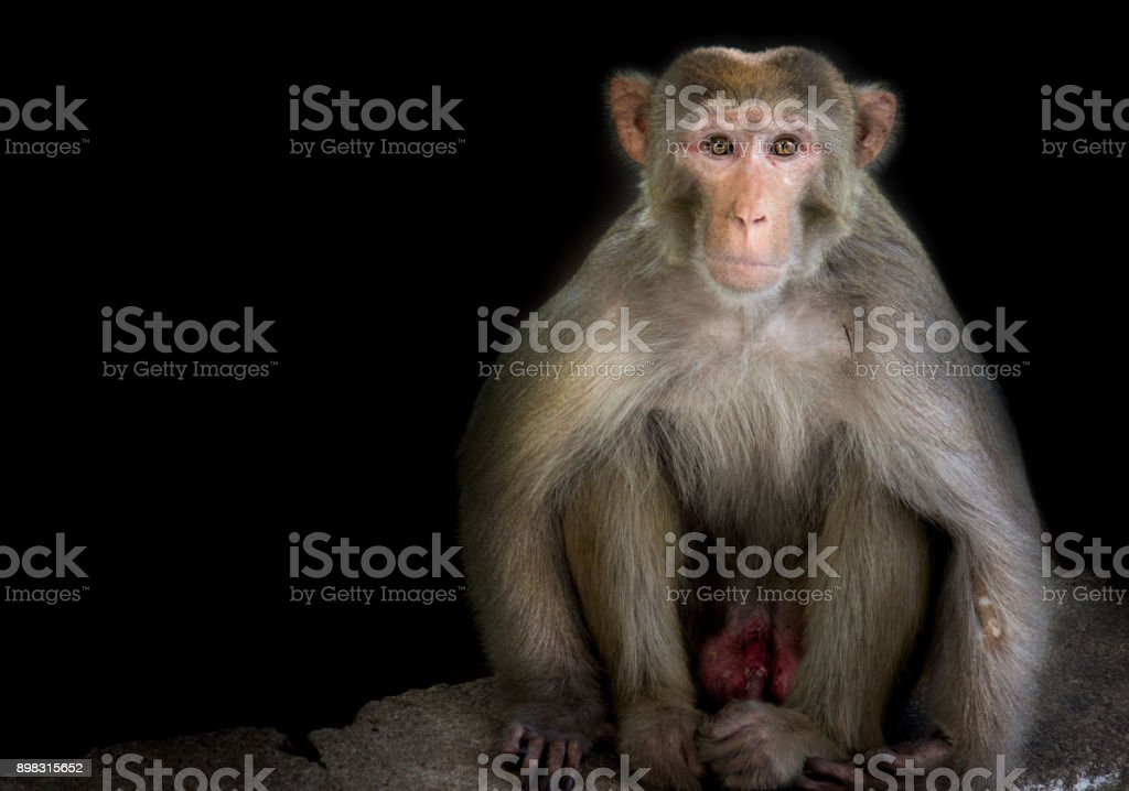 Rhesus macaque royalty-free stock photo
