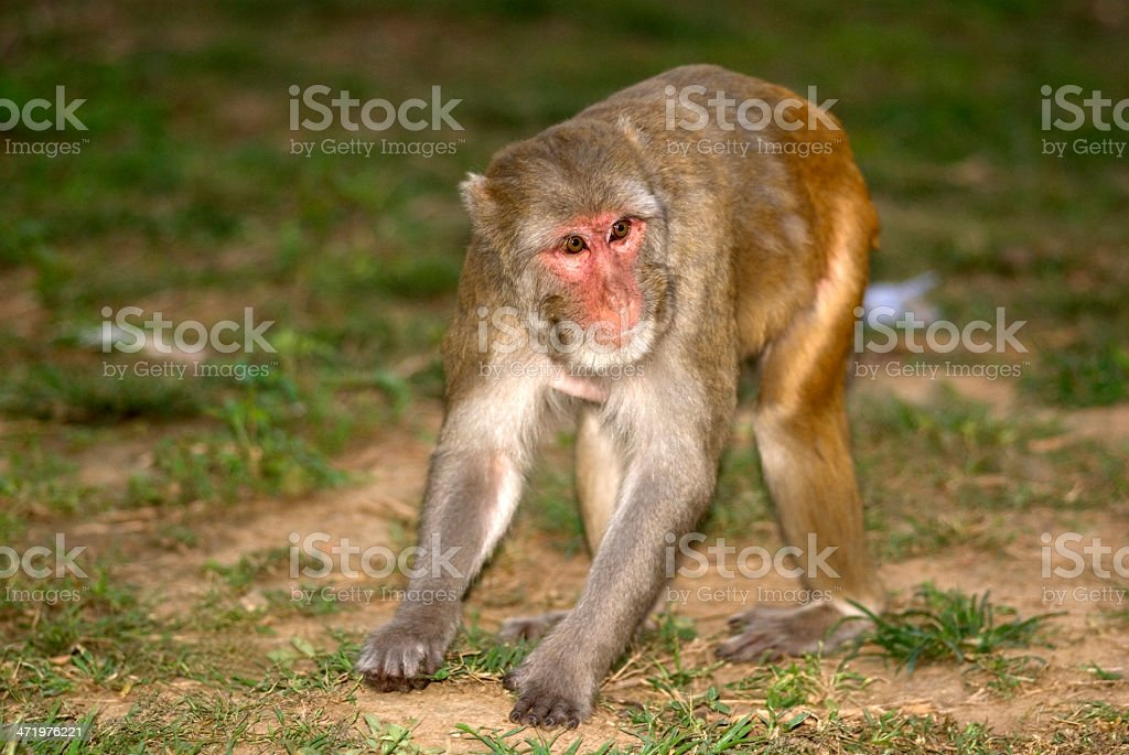 Rhesus macaque, Sariska Game Reserve, Rajasthan, India stock photo