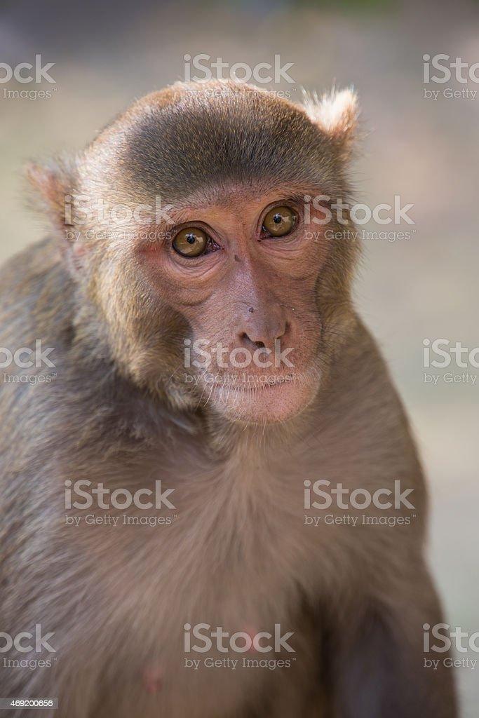 Rhesus Macaque sitting at Tughlaqabad Fort, Delhi, India stock photo
