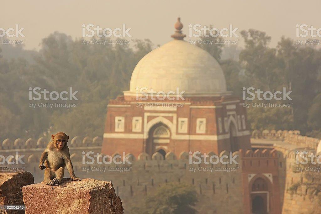 Rhesus Macaque sitting at Tughlaqabad Fort, New Delhi stock photo