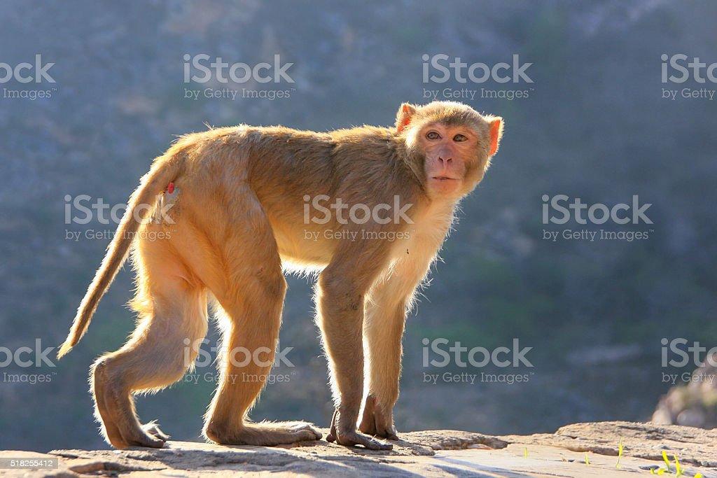 Rhesus macaque walking near Galta Temple in Jaipur, Rajasthan, I stock photo