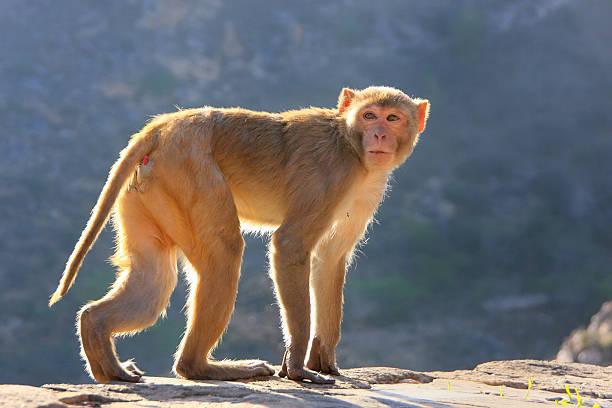 macaco reso a piedi vicino al tempio di galta di jaipur, rajasthan, - macaco foto e immagini stock