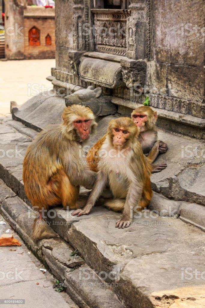 Rhesus Macaques at Pashupatinath Temple Kathmandhu Nepal stock photo