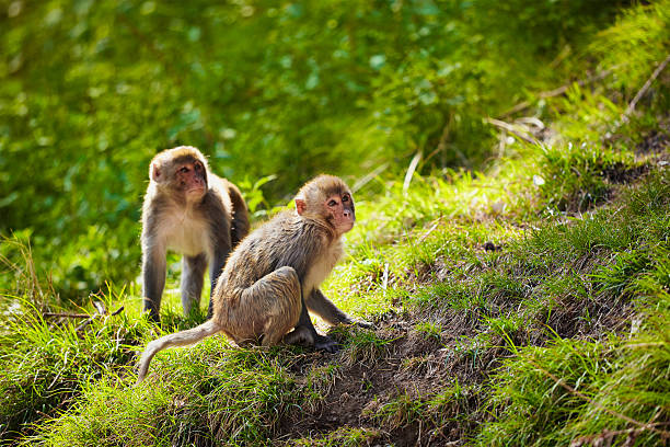 rhesus macaques in india - ape stock pictures, royalty-free photos & images
