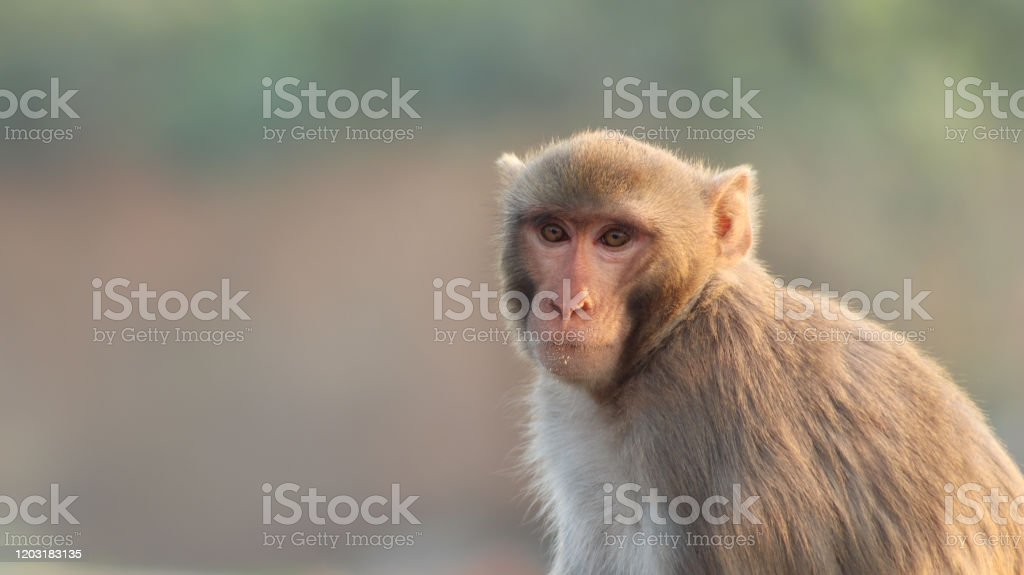 Rhesus Macaques, India - Foto stock royalty-free di Allerta