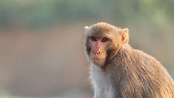 Rhesus Macaques, India stock photo