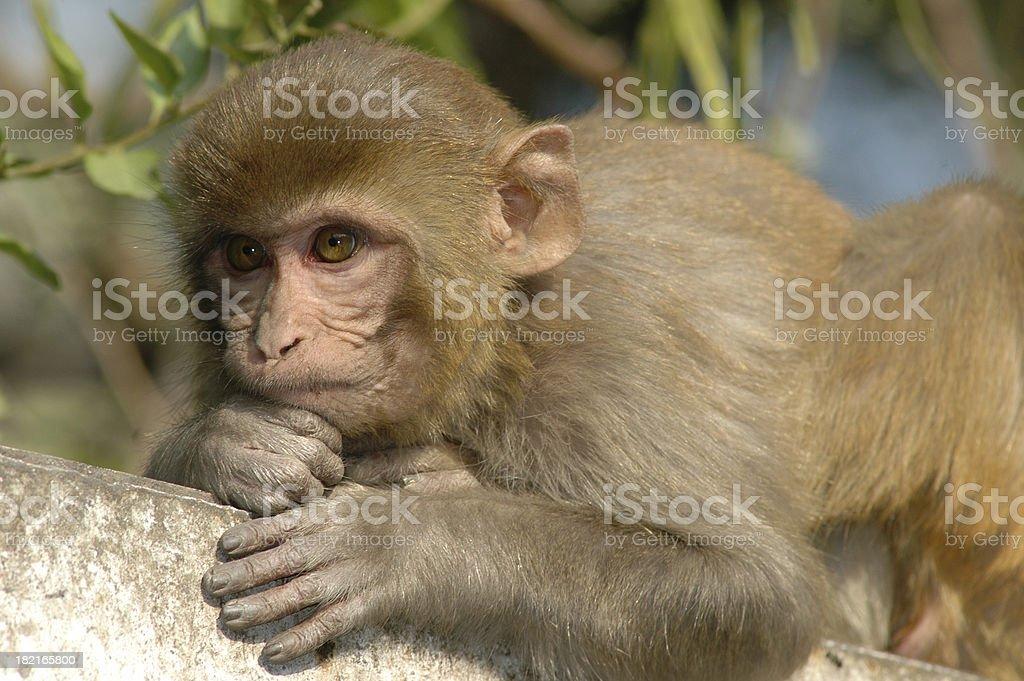 Rhesus Monkey stock photo