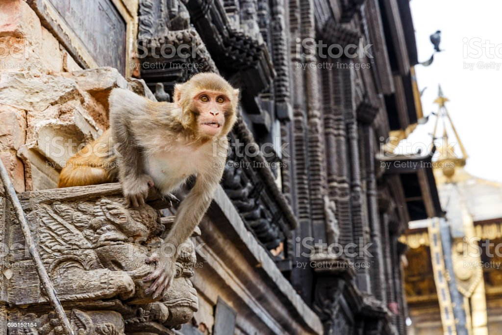Rhesus monkey sitting on the wall stock photo