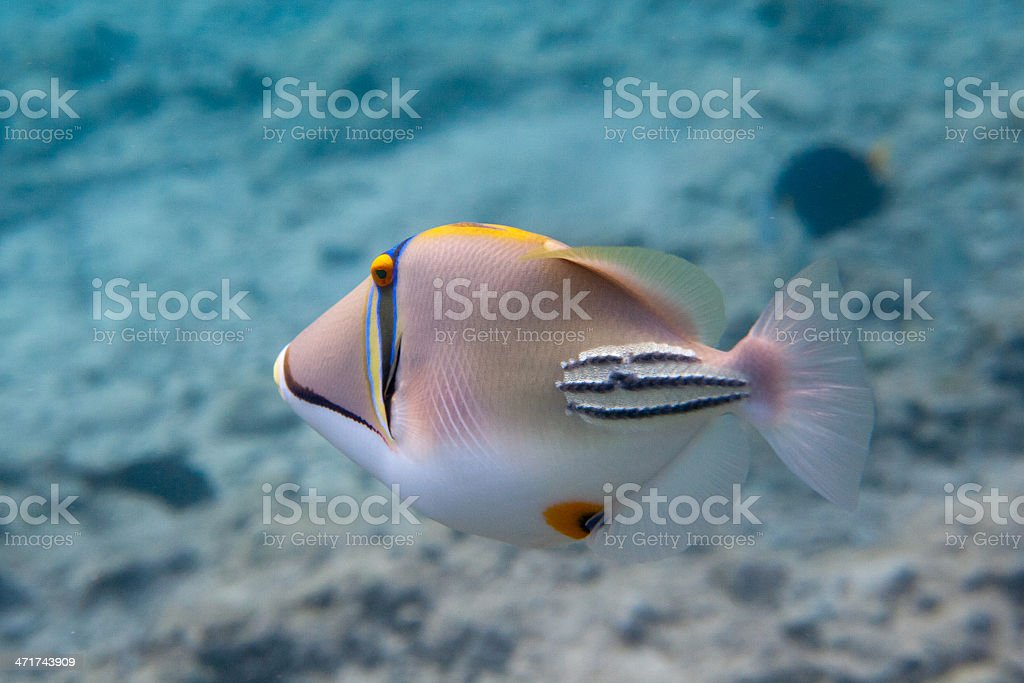 Rhinecanthus Picasso or Black Bar Triggerfish stock photo