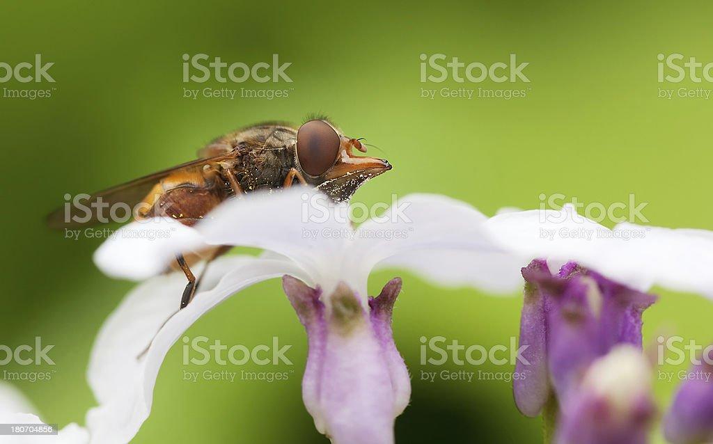 Rhingia campestris royalty-free stock photo