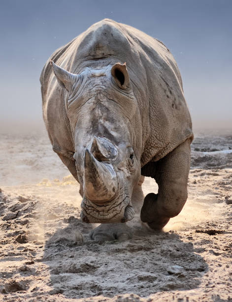 rhino attack an approaching white rhino rhinoceros stock pictures, royalty-free photos & images